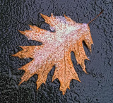 Snowy Oak Leaf 20111202