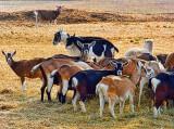 Goat Herd DSCF3509