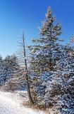 Snowy Pines 20856