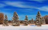 Snowy Pines 20815