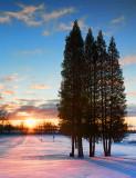 Pines In Sunrise 20991