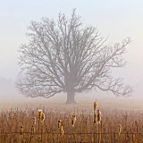 Lone Tree In Fog 20120322