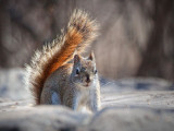Red Squirrel 26341