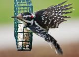 Woodpecker Taking Flight 26412