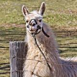 Friendly Llama 20120407