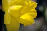 Sunstruck Daffodil 26549