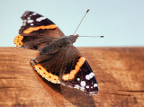Red Admiral Butterfly 20120420