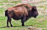 Bison 20120428