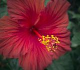 Hibiscus 00117