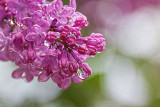 Wet Lilac 26764-7