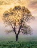 Lone Tree In Foggy Sunrise 23815