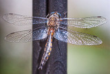 Dragonfly 26906-10