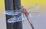 Dragonfly 26911