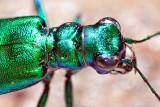 Metallic Green Bug 26972-4 (Crop)