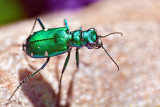 Metallic Green Bug 26972-4