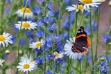 Butterfly On A Daisy 27022