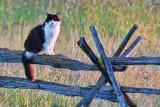 Cat On A Split Rail Fence 20120702