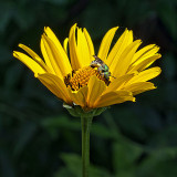 Yellow Flower, Green Bee 20120704