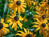 Black-eyed Susans 20120730