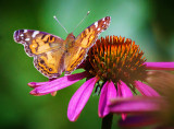 Butterfly On A Coneflower 20120812
