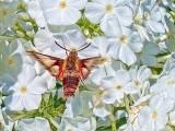 Moth On White Phlox 01531