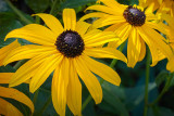 Black-eyed Susans 01522
