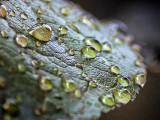 Wet Leaf 27716