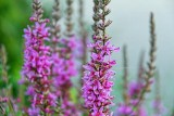 Purple Loosestrife 25803