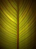 Backlit Calla Lily Leaf 01523
