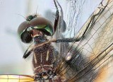 Dragonfly Closeup 20120818