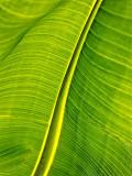 One Big Leaf 01561