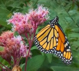Butterfly On A Pink Flower 20120904