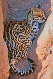 Ocelot In A Crevice 77668