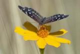 Desert Butterfly 75149