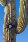 Female Saguaro 80489