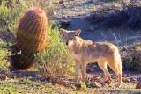 Coyote 80672