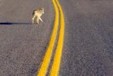 Coyote Truckin' 20080122