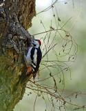 18936 - Downy Woodpecker / Ganey-Tikva - Israel