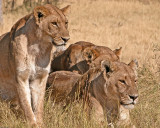 African Lions 2