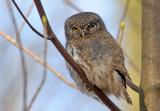 Spurveugle - Eurasian Pygmy Owl