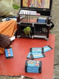 At a fortune teller in Nagercoil, Tamil Nadu. The parrot has picked three cards.