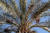 Date palm in Siwa