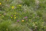 Swiss Wildflowers