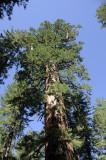 Giant Sequoia at Tuolumne Grove