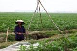 Irrigation d'un champ de pommes de terre