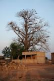 L'arbre aux vautours