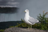 Goéland aux chutes du Niagara