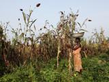 La récolte du sorgho