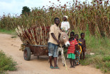 Transport du sorgho