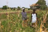 La récolte du maïs